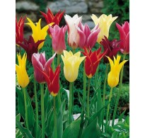25 Mixed Lily Tulip Bulbs