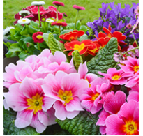 80 Litre - Primula/Primrose Compost - Pallet Deals